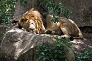 photo of Sleeping Lion taken at jacksonville Zoo