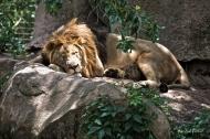 photo of Sleeping Lion taken at jacksonville Zoo