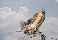 photo of Hawk on Branch taken in Everglades National Park