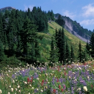 photo of mountains and spring flowers, Mt Rainier national Park