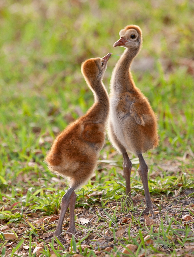 Photo of Aggressive Sandhill Crane Chicks