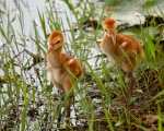 photo of Two Sandhill Chicks walking at edge of lake