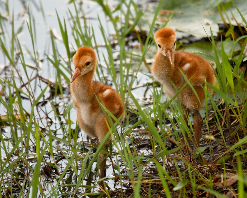 photo of Two Sandhill Chicks walking at edge of lake