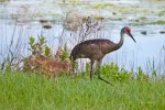photo of Sandhill Crane with two Chicks by Lake