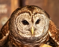 photo of Barred Owl taken in St Augustine, FL