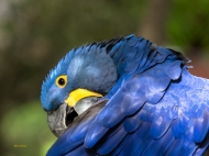 photo of hyacinth Macaw taken at rhe Alligator Farm, St Augustine, FL
