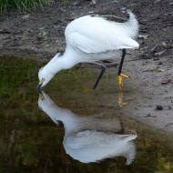 Photo of Snowy Egret with reflection in water taken at the St. Augustine Alligator Farm, St Augustine, FL