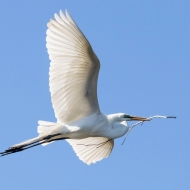 photo of Great Egret flying with branch taken at the St Augustine Alligator Farm, St Augustine, FL.
