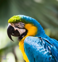 photo of Blue and Yellow Macaw taken at the Alligator Farm, St Augustine, FL