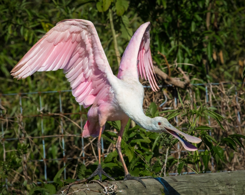 photo of Roseate Spoonbill on fence at the Alligator Farm, St Augustine, FL