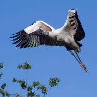 photo of Wood Stork in flight taken at the Alligator Farm, St. Augustine, FL.
