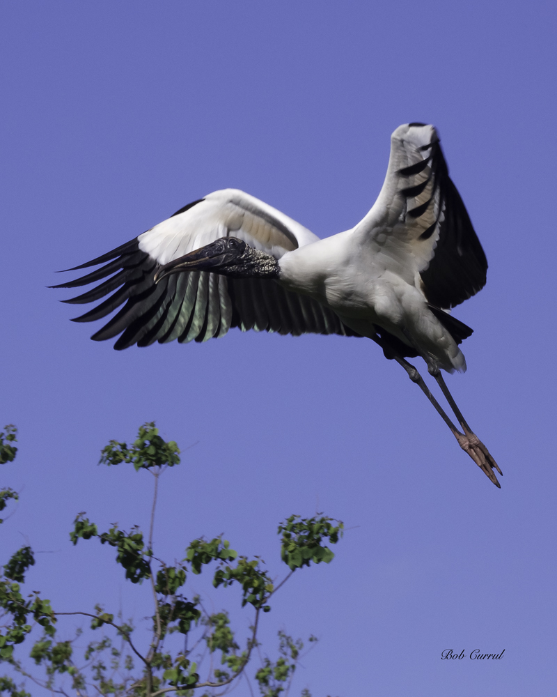 photo of Wood Stork in flight taken at the Alligator Farm, St. Augustine, FL.
