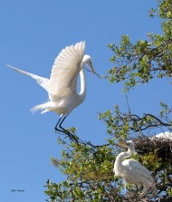 photo of Great Egret returning to mate and nest with nesting material taken at the Alligator Farm, St Augustine, FL.