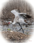 photo of Sandhill Crane with egg, Lake Como FL
