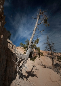 photo of Tree hanging on side of steep slope in Bryce Canyon National Park