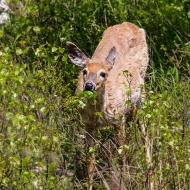 photo of Doe browsing in Acadia National Park ME
