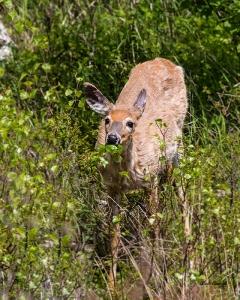 photo of Doe browsing in Acadia National Park ME