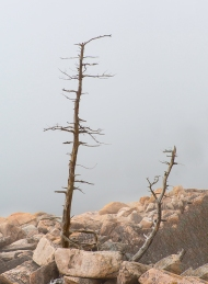 photo of Trees in Fog on rocky shore, Acadia National Park, Maine