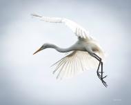 photo of Egret in Flight, St Augustine Alligator Farm, St Augustine, FL