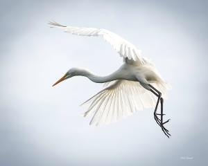 photo of Egret in Flight, St Augustine Alligator Farm, St Augustine, FL