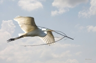 265 Great Egret with Branch copy