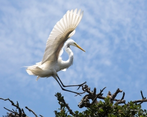 photo of Great Egret Landing, St Augustine Alligator Farm, St Augustine, FL