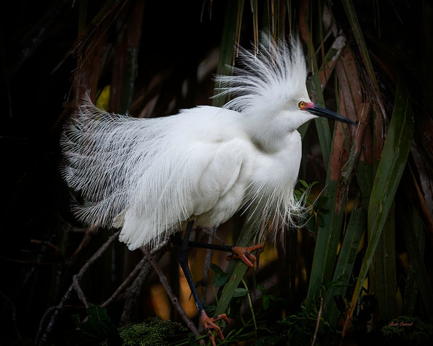 photo of Snowy Egret in Reeds at Alligator Farm, St Augustine, FL
