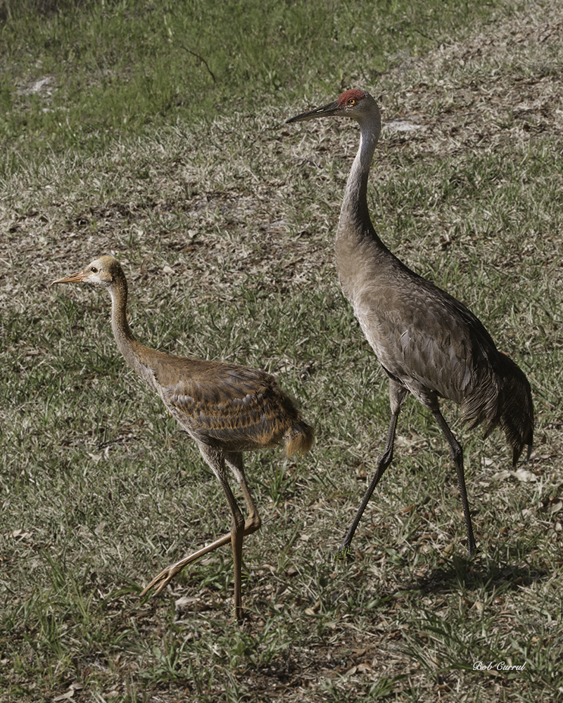 photo of Sandhill Crane with Juvenile, Little Lake Como, FL