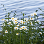 photo of daisies by Seneca Lake, NY
