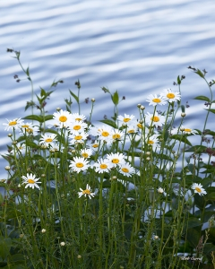 photo of daisies by Seneca Lake, NY