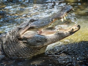 photo of Gator
