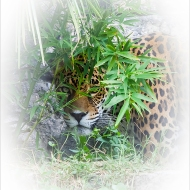 photo of jaguar peering through vegetation
