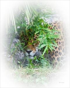 photo of jaguar peering through vegetation