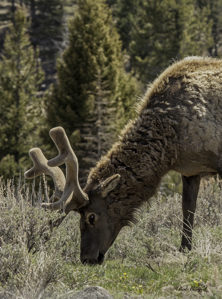photo of Elk in Velvet taken in Yellowstone National Park