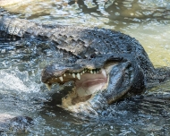 photo of Gator Charge