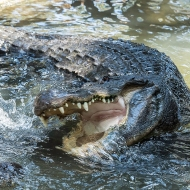 photo of Gator Charge