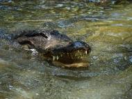 photo of Gator