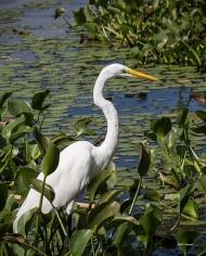 photo of Great Egret at Porkys' Marina
