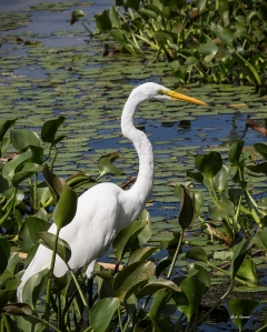 photo of Great Egret at Porkys' Marina