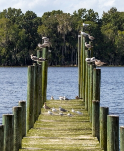 photo of Gulls on Pilings, Georgetown, FL
