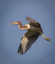 photo of Tricolor Heron in Flight