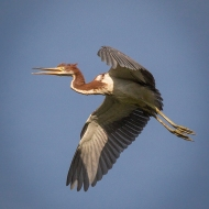 photo of Tricolor Heron in Flight
