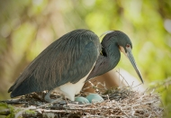 photo of Tricolor heron on Eggs