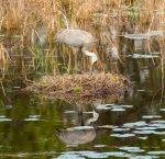 photo of Sandhill Crane Nest Building