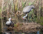 Photo of Sandhill Cranes with newly laid egg