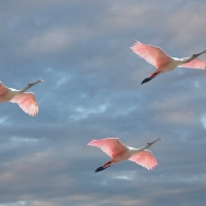 Photo of Three Roseate Spoonbills in Flight