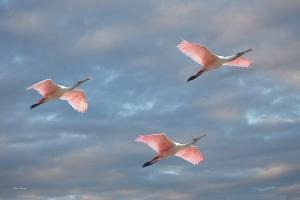 Photo of Three Roseate Spoonbills in Flight