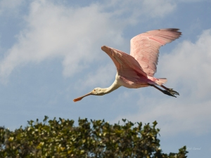 photo of Roseate Spoonbill in Flight above the Trees