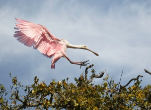 photo of Roseate Spoonbill Landing
