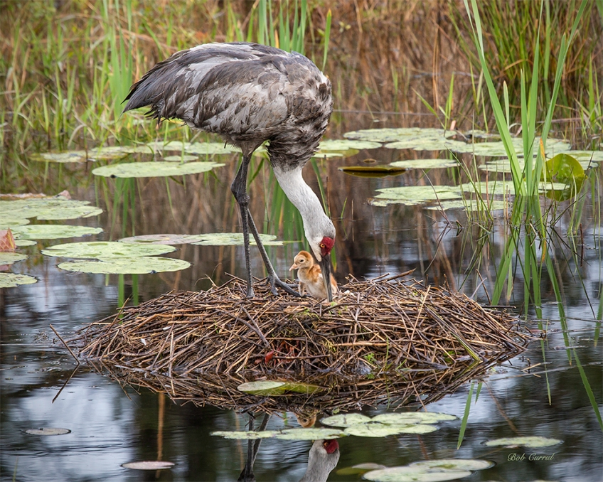 photo of one day old Sandhill Crane in Nest with parent